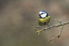 Mésange bleue Images stock