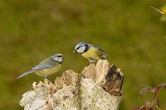 Mésange bleue Photographie stock libre de droits