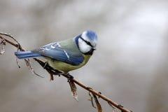 Mésange bleue Photographie stock
