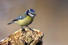 Mésange bleue Image libre de droits
