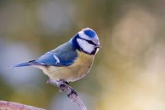 Mésange bleue Photos libres de droits