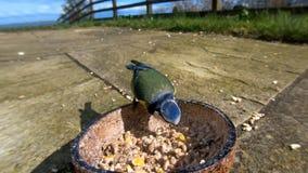 Mésange bleue alimentant de la noix de coco Suet Shells d'insecte au R-U photo libre de droits