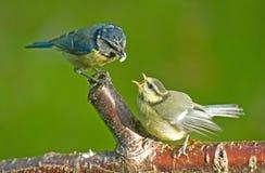 Mésange bleue alimentant un oiseau de débutant. images stock