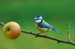 Mésange bleue avec la dernière pomme Image stock