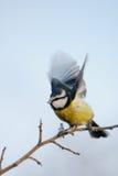 Mésange bleue avec les ailes étendues Images libres de droits