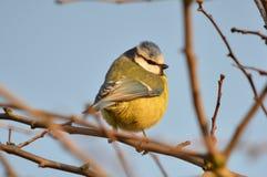 Mésange bleue (caeruleus de Cyanistes) Images libres de droits