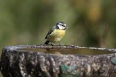 Mésange bleue, caeruleus de Parus Photographie stock libre de droits