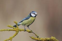 Mésange bleue, caeruleus de Parus Photo libre de droits