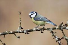 Mésange bleue, caeruleus de Parus Image libre de droits