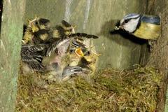 Mésange bleue, caeruleus de Parus Photos stock