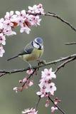 Mésange bleue, caeruleus de Parus Images stock