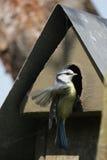 Mésange bleue (caeruleus de Parus) Photo libre de droits