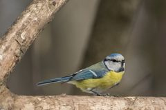 Mésange bleue, caeruleus de Parus, caeruleus de Cyanistes Photos libres de droits