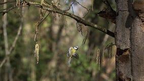 Mésange bleue, caeruleus de parus, vol adulte et atterrissage sur le tronc d'arbre clips vidéos