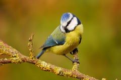 Mésange bleue dedans sur la perche de jardin Photos libres de droits