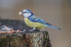 Mésange bleue eurasienne (caeruleus de Cyanistes ou caeruleus de Parus) Photos stock