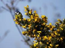 Mésange bleue : Petit ami de natures. photos libres de droits