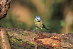 Mésange bleue se reposant sur une branche Photographie stock libre de droits
