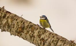 Mésange bleue sur la branche Photos libres de droits