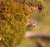 Mésange bleue sur la mousse Photographie stock libre de droits