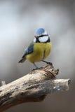 Mésange bleue sur la passerelle Photo libre de droits