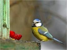Mésange bleue sur le câble d'alimentation d'oiseau Image libre de droits