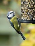 Mésange bleue sur le câble d'alimentation d'oiseau Photographie stock