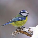 Mésange bleue sur le joncteur réseau neigeux Image libre de droits