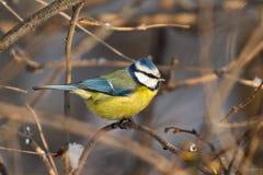 Mésange bleue sur une branche en hiver Photo stock