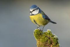 Mésange (caeruleus de Cyanistes) Photo stock