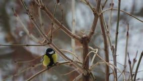 Mésange d'oiseau en hiver dans les buissons banque de vidéos