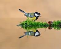 Mésange dans l'eau. Image libre de droits