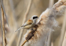 Mésange de Penduline d'Eurasien photo stock