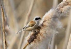 Mésange de Penduline d'Eurasien Photo stock