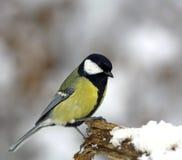 Mésange grande sur un branchement neigeux Photographie stock libre de droits