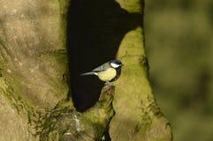 Mésange, observation de beaux oiseaux Photo stock