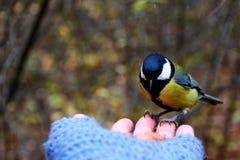 Mésange sur ma main Photographie stock libre de droits