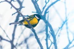 Mésange sur une branche neigeuse d'un arbre Photo d'hiver snowfall Fond brouillé photos libres de droits