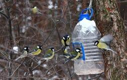 Mésanges alimentant en hiver Photos stock