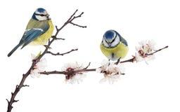Mésanges bleues eurasiennes sur la branche se développante de cerisier sur le blanc photos libres de droits