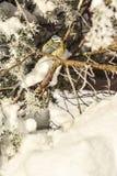 Mésanges d'oiseaux d'hiver Photos libres de droits