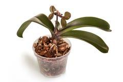 Méthode d'élevage de Phalaenopsis avec la pousse d'isolement sur le blanc Photographie stock