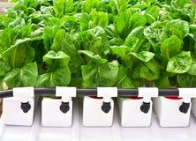 Méthode de culture hydroponique de cultiver des usines Image libre de droits