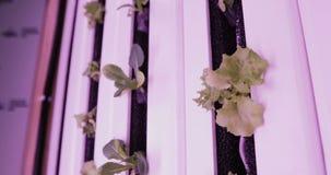 Método da hidroponia de crescer plantas na água UV cresça luzes para plantas crescentes vídeos de arquivo