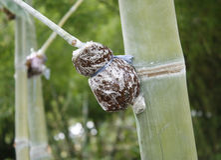 Método de bambú del injerto Imagen de archivo