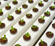 Método del hidrocultivo de crecer las plantas Fotografía de archivo