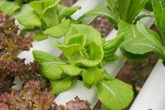 Método del hidrocultivo de crecer las plantas usando solu nutritivo mineral Fotografía de archivo