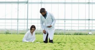 Método del hidrocultivo de producir la ensalada en invernadero Dos ayudantes de laboratorio examinan el crecimiento verde de la p metrajes