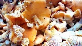 Mízcalo de Muschrooms Imágenes de archivo libres de regalías