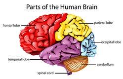 móżdżkowa istota ludzka Zdjęcie Royalty Free